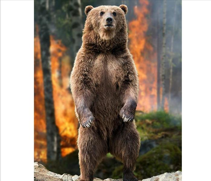 Grizzly Bear Standing up in forest with a fire in the background